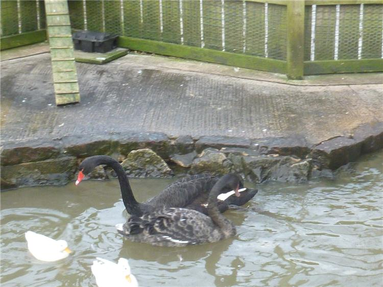 The new Black Swans 001