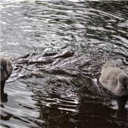 Pic's 22 06 2017 cygnet's on in the Brook.