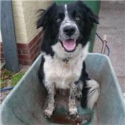 Owner fears missing collie Taz may now have been stolen