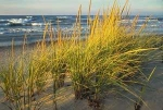 Marram Grass Small
